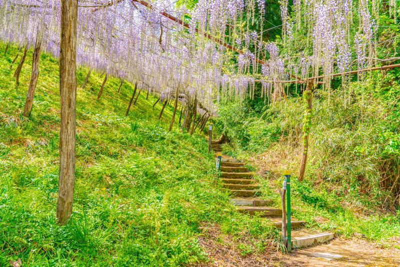 ナイアガラ藤園(くろさわ藤園)|群馬県富岡市