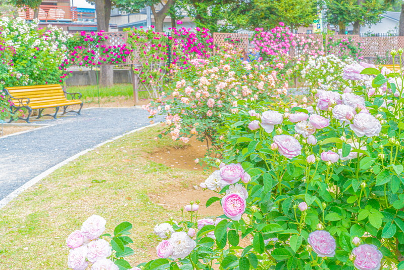 敷島公園ばら園|群馬県前橋市