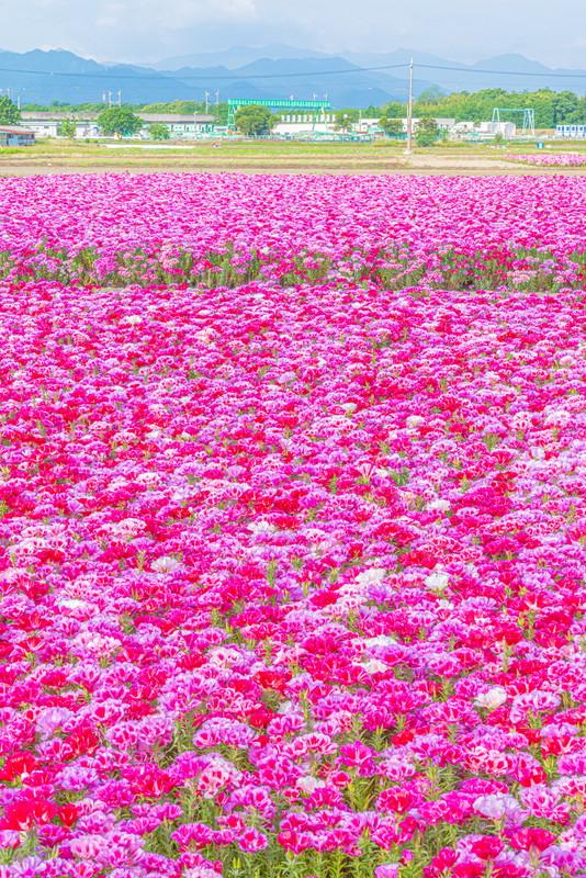 ゴデチアの花畑 群馬県藤岡市森新田